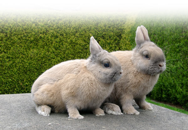 german,breeders,beige,netherland,dwarfs,rabbit